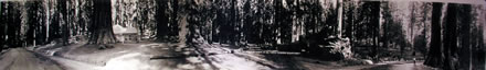 Eugene Goldbeck - Mariposa Grove of Big Trees (Double Goldbeck Portrait)