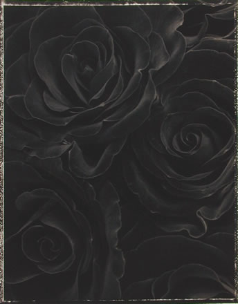 Ron van Dongen - Rosa Black Beauty